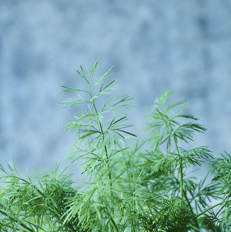 dill_herb_garden-2